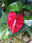 Light red_dark pink standard anthurium.J