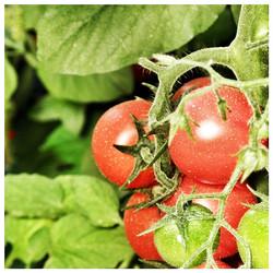 עגבניות שרי בקדש ברנע