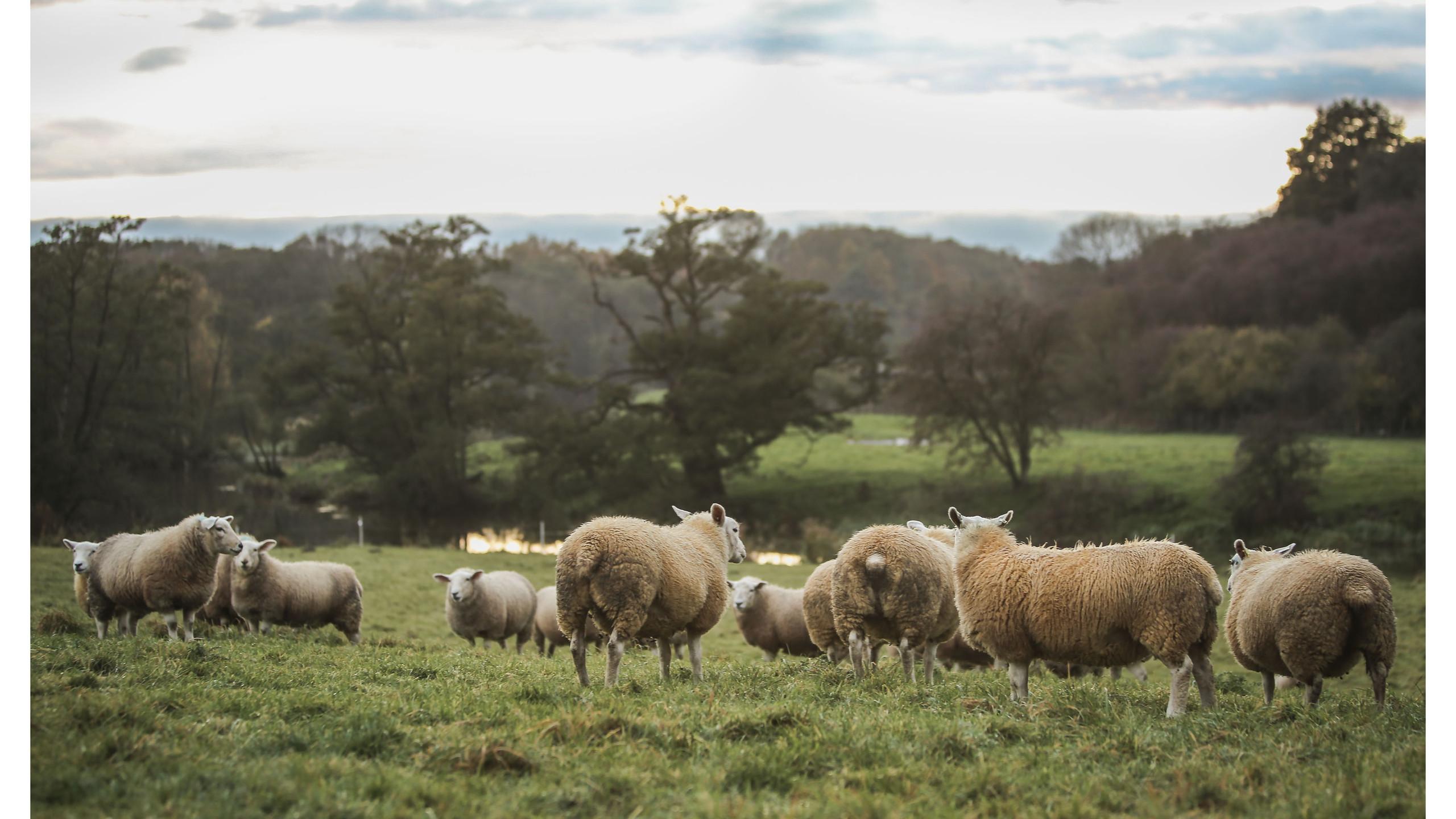 Sheep _ Mennythorpe