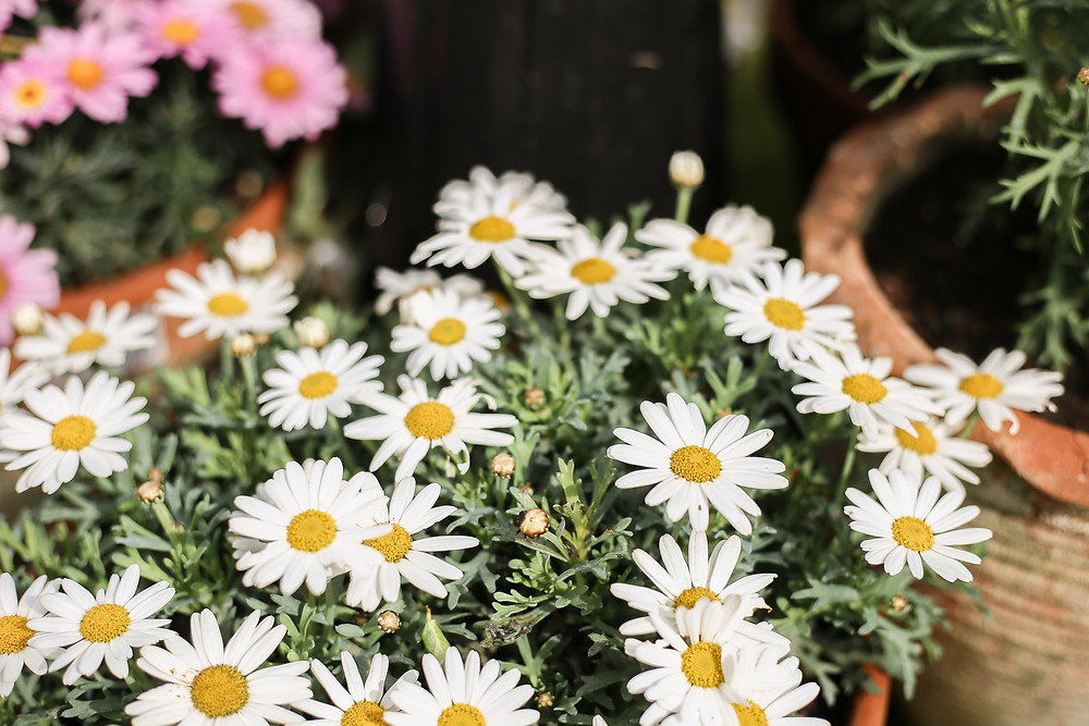 Daisys in a pot.