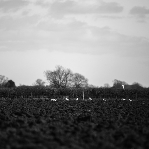 Seagulls in the field