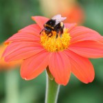 red flower with a bee on the pollen