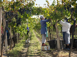 Italian Fruit Pickers Dying From Harmful Working Conditions