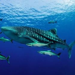 Whale Shark - Andaman Sea