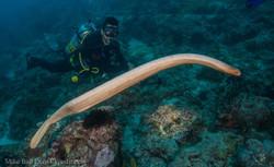 Olive Sea snake - Australia