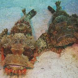 Scorpion Fish - Red Sea