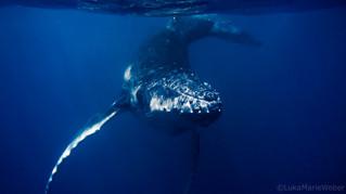 Humpback whales – Vava'u Tonga