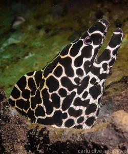 Moray Eel - Andaman Sea