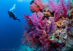 pim soft coral