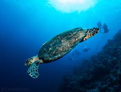 Hawksbill Turtle Egypt