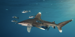 Oceanic Whitetip A.K.A Longimanus