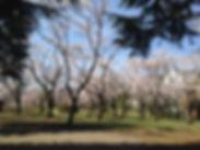 陵南公園桜ヨガ.jpg