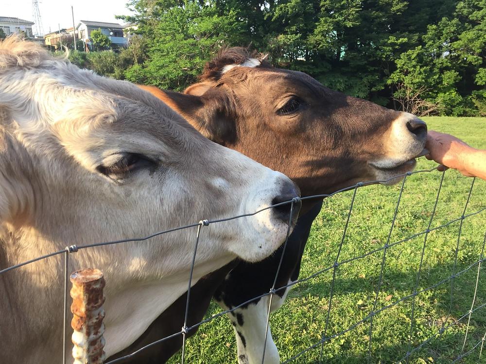 磯沼ミルクファーム,牛,牧場ヨガ