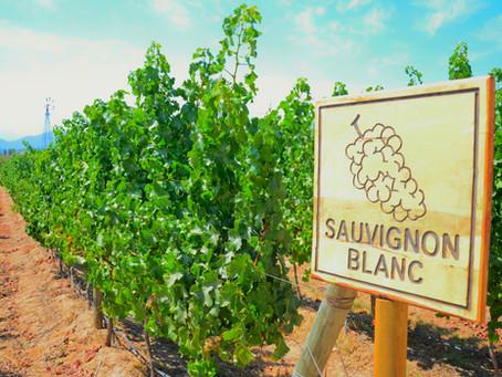 "Say ""SI"" to Italian Sauvignon Blanc"