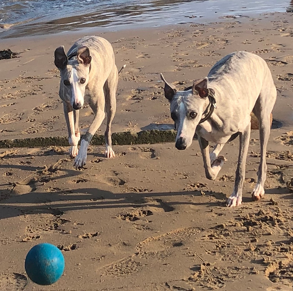 Our Whippets Daisy and Hilda - they can definitely see the ball - maybe not the colour of it though!