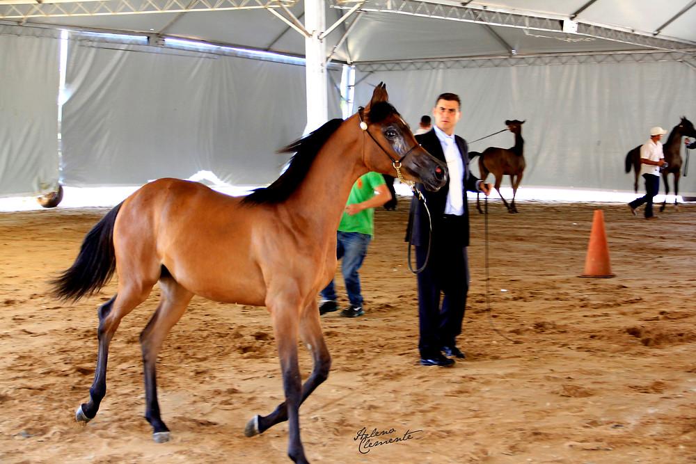 Chiquinho Rego, treinador, faz aquecimento de potra Puro Sangue Árabe para apresentação de Halter na arena do Helvetia Riding Center, em Indaiatuba, SP.