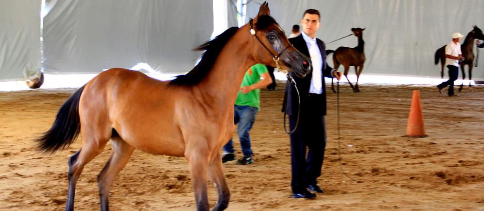 Nacional do Cavalo Árabe supera edição anterior em números de animais participantes
