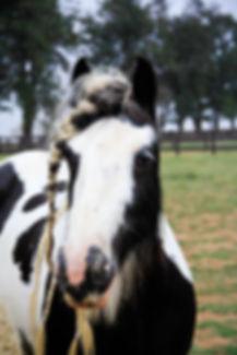 Gypsy horse black tobiano do Royal Gypsy Horse
