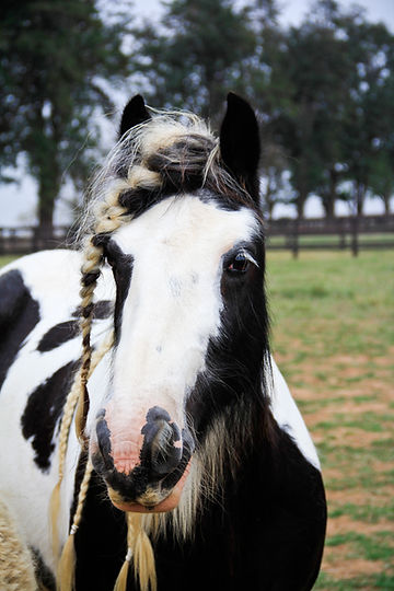 Gypsy horse black tobiano do Royal Gypsy Horse