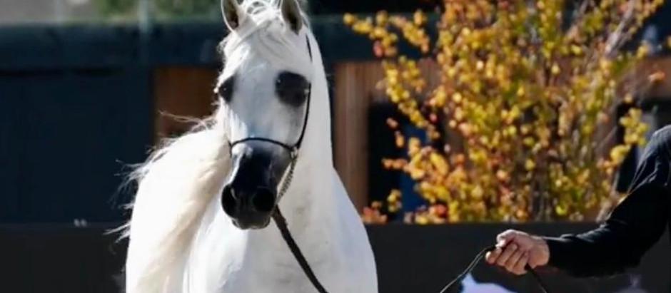 Criação brasileira do Cavalo Árabe é destaque em eventos internacionais