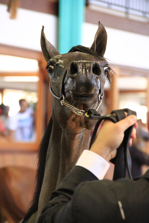 Potranca Puro Sangue Árabe em apresentação de Halter, no Helvetia Riding Center, Indaiatuba, SP. Foto Trote & Galope / Heleno Photoequestre