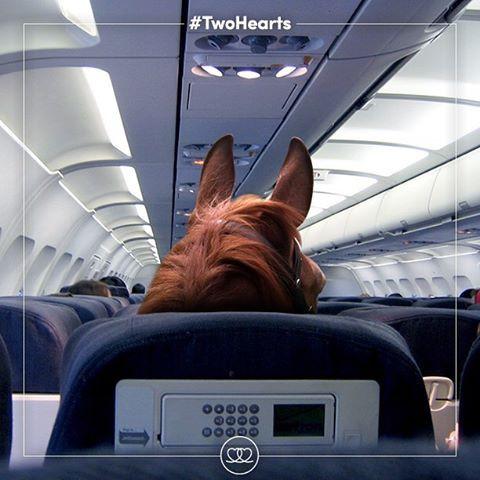 o primeiro grupo de cavalos olímpicos saiu do Aeroporto de Stansted em Londres (Grã-Bretanha) hoje (29 de julho), em um avião de cargas especial em direção às Olimpíadas Rio 2016,