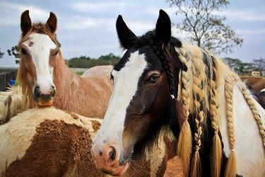 Gypsy horse com tranças na crina