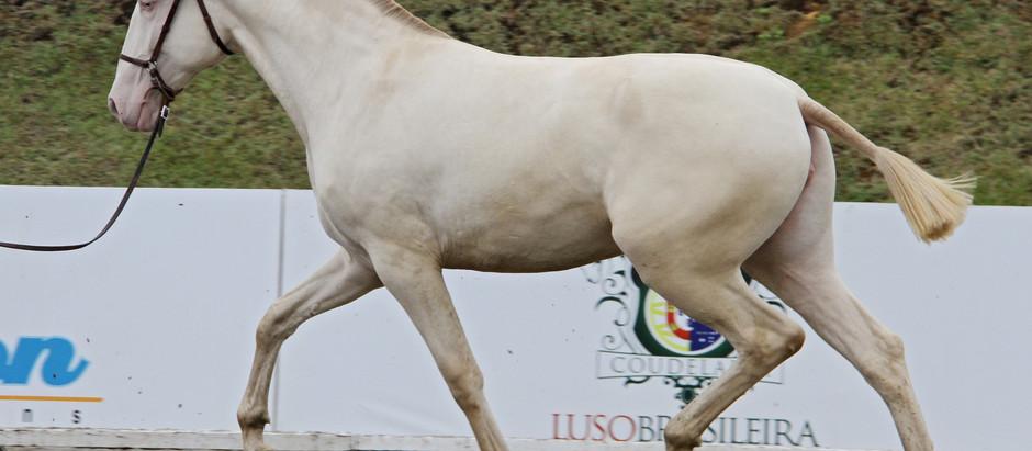 Neste fim de semana, em Tatuí (SP), conheça a beleza e versatilidade do cavalo de sela mais antigo d
