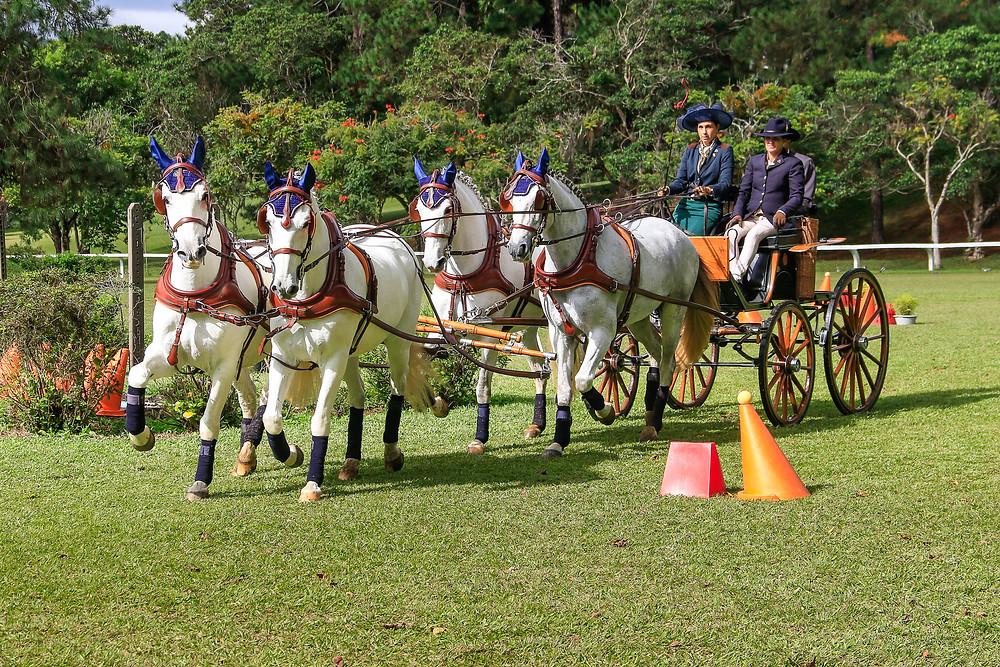 Atrelagem Esportiva é uma das modalidades em que o cavalo Lusitano se destaca. Trote&Galope