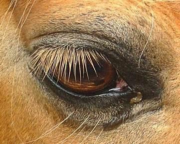 Tratamento de anemia associada à hemoparasitose em equinos