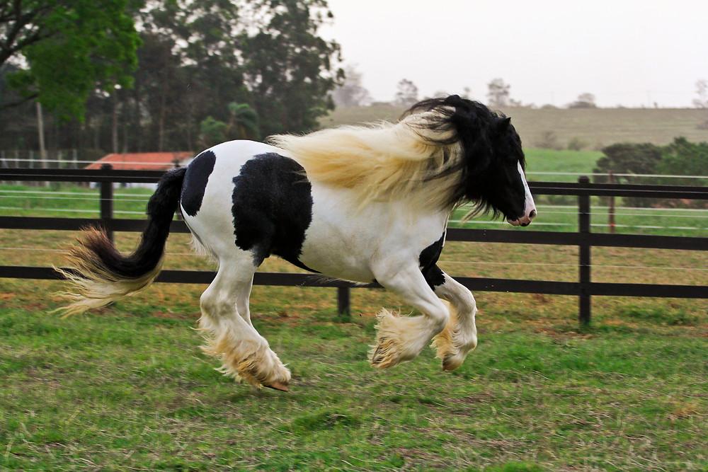 gypsy_horse.jpg