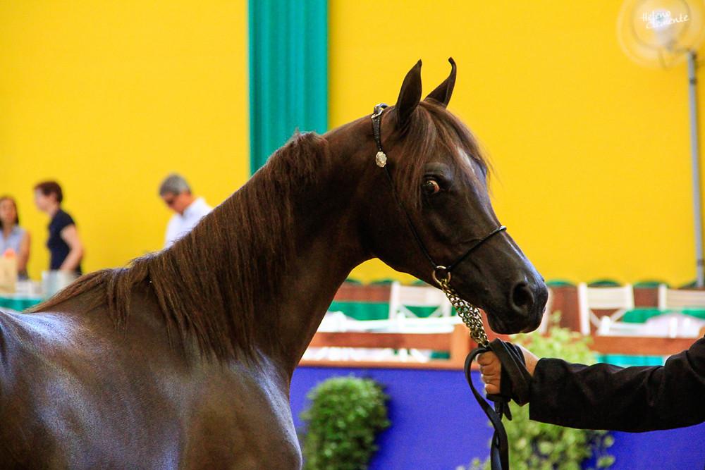 Puro Sangue Árabe Xstar_JM_13Nov2013, foto de meio corpo, segurado pelo cabresto por alguém de paletó preto. O cavalo está olhando  para o fotógrafo.