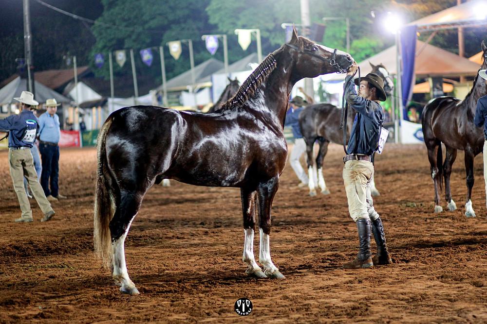 Diamante do Gadu foi eleito Grande Campeão Nacional Cavalo.  Crédito: Márcio Mitsuishi.