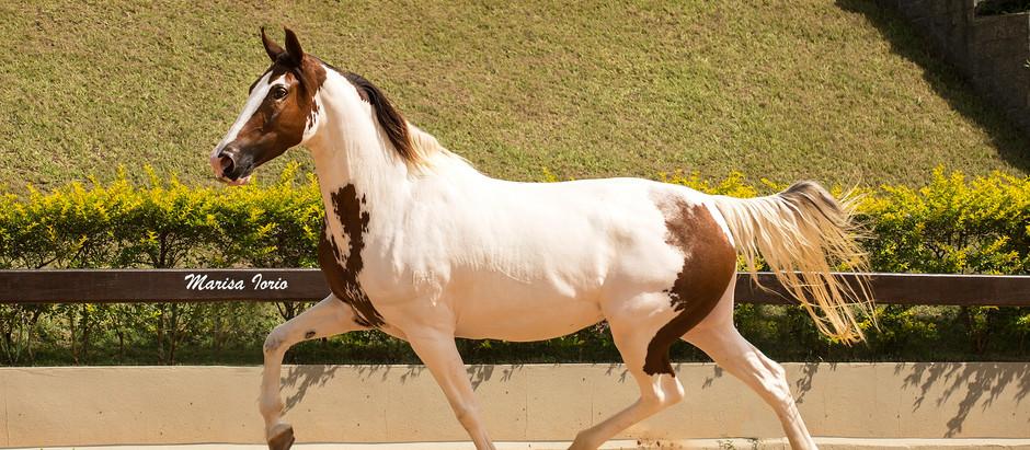 Coloridos e versáteis, cavalos de pelagem pampa são as estrelas do 10º Leilão Celebridades no Haras