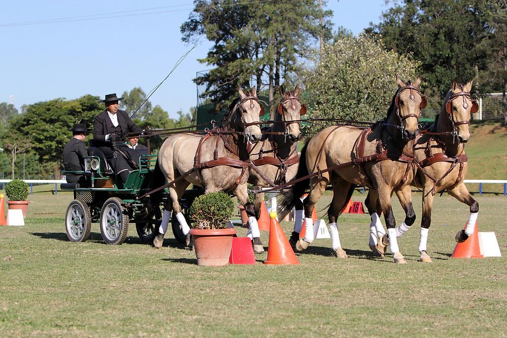 Atrelagem: elegância e tradição se misturam neste esporte que é disputado com um, dois e quatro cavalos (Foto: Heleno Clemente/Trote & Galope)