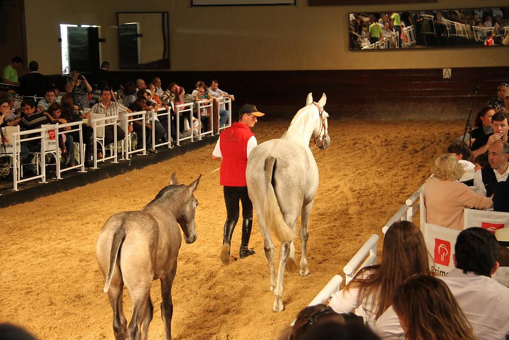 O IRDM também é palco do XVI Leilão Internacional Luso Brasileiro, neste ano homenageando Tulum Comando SN, um dos melhores cavalos de Adestramento do Brasil e produtor de exceção. Cavalo lusitano.