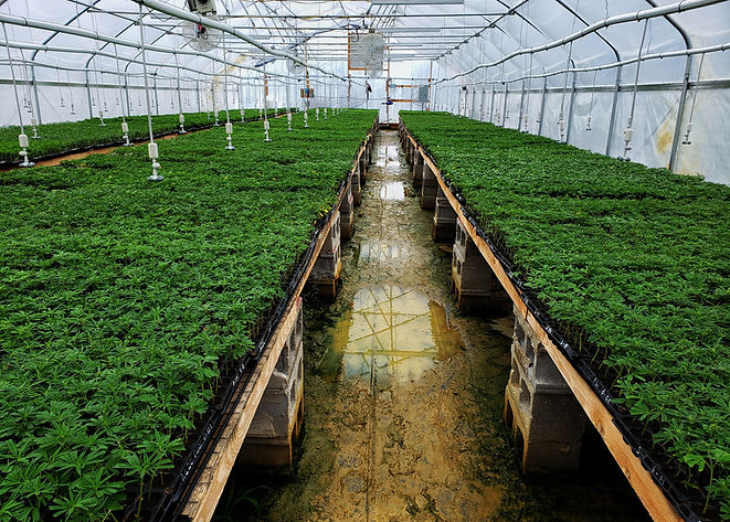 Greenhouse filled with young hemp plants