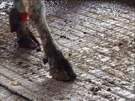 "Screenshot from video ""The Cow-walk""arade"""