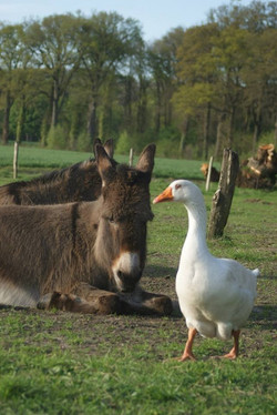 Ezel+gans