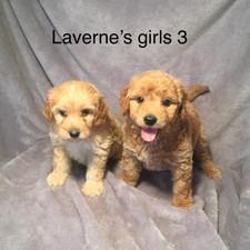 Laverne Girl Puppies.jpeg