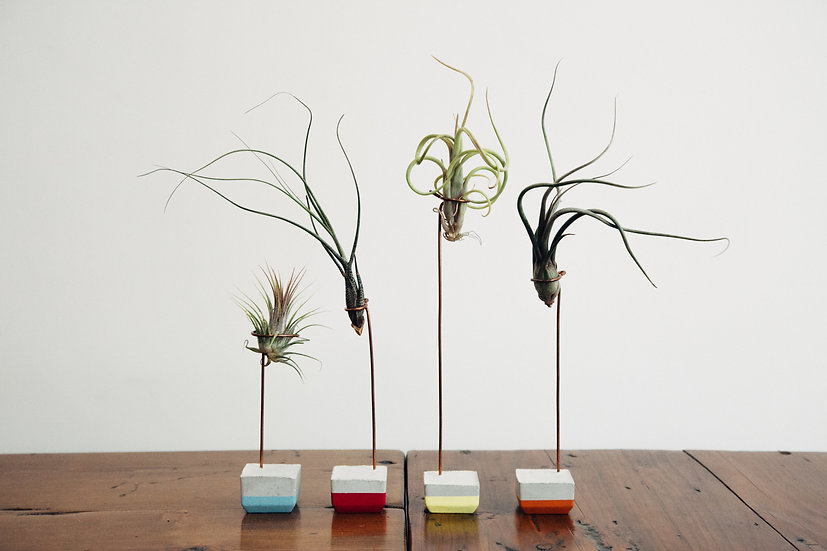 Medium Air Plant & Colored Holder
