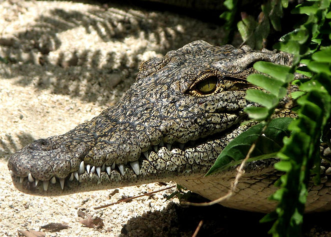 Biotropica - animaux alligator.jpg