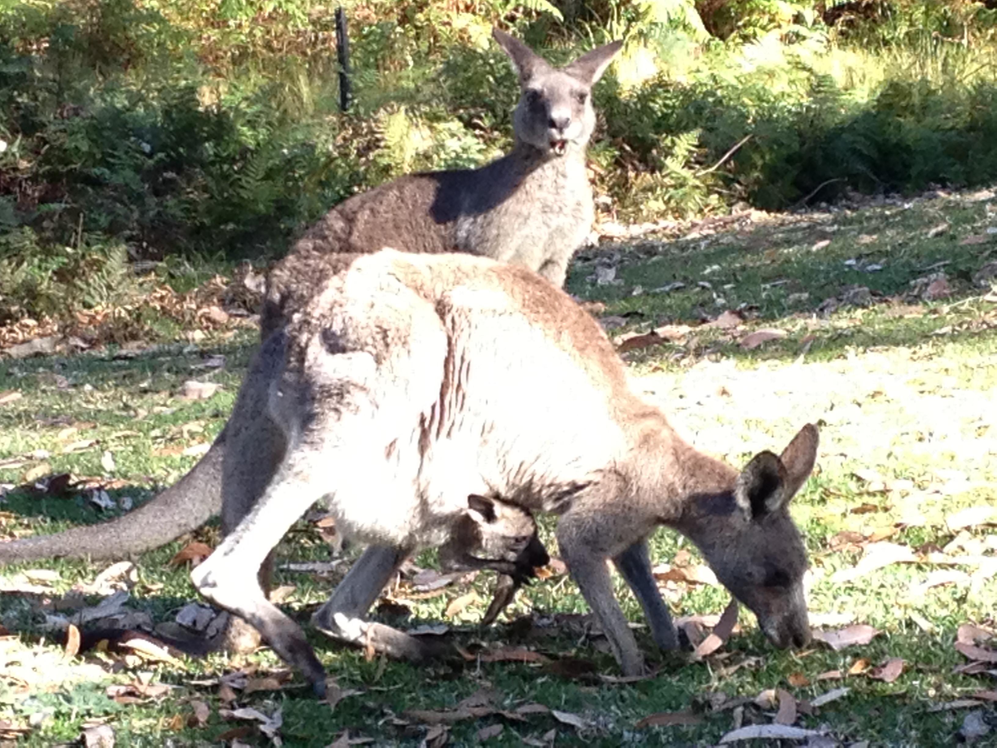 Kangaroos at Greenpatch