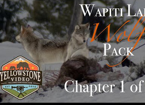 Yellowstone's Wolves in Winter - Spend a Day with the Wapiti Pack, Chapter 1 of 2