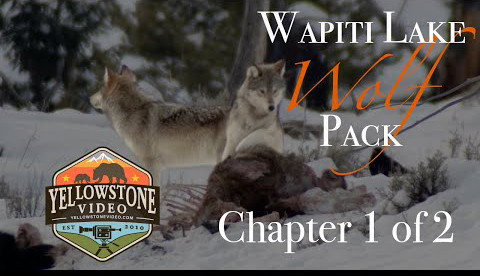 Wapiti Wolf Pack Yellowstone