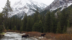 Moose Cow and Calf - Back in Town!
