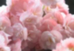 rosa Petals