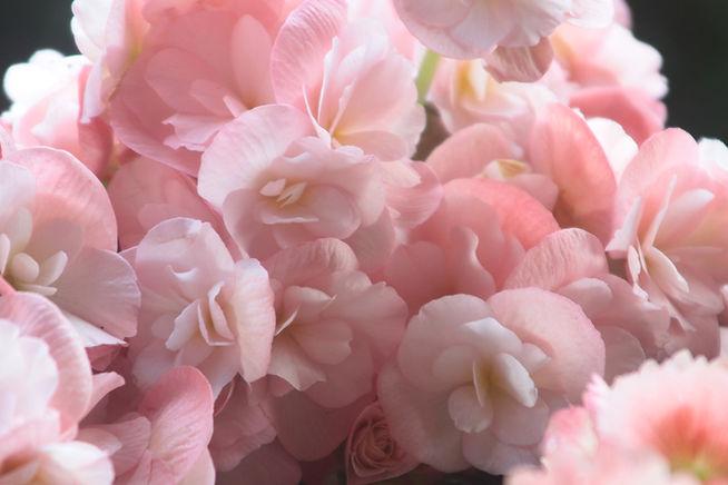 rosa Blumenblätter