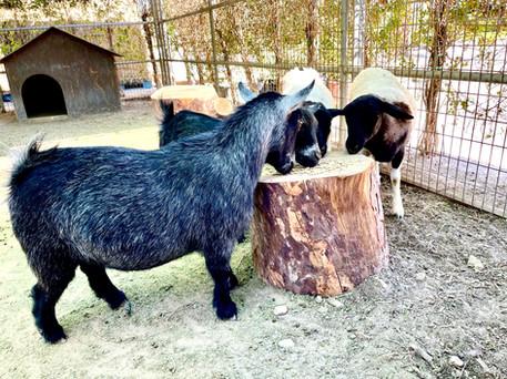 goat & Sheep.jpg