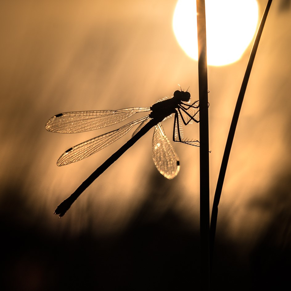 Damsel at Sundown
